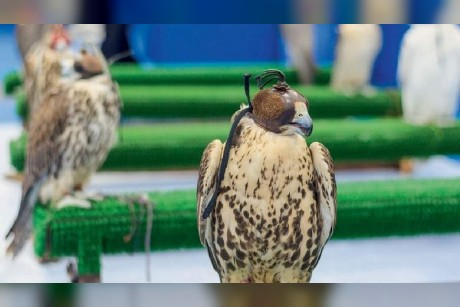How UAE pampers its majestic birds