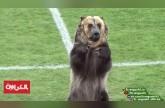 دب يدخل إلى أرضية الملعب في مباراة كرة قدم بروسيا