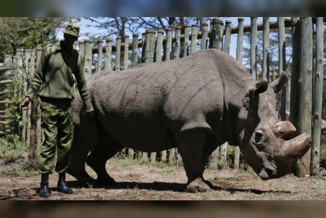 Doomed white rhino could save species from beyond grave
