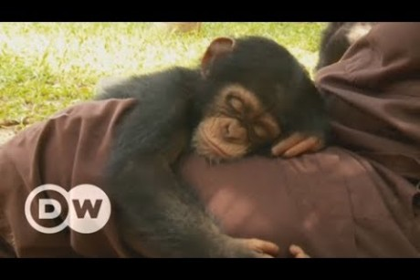 An orphanage for baby chimps in Liberia | DW English