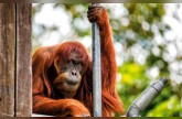 «القتل الرحيم» ينهي حياة إنسانة الغاب الأكبر سناً في العالم