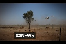 In the Australian outback, you muster cattle with choppers