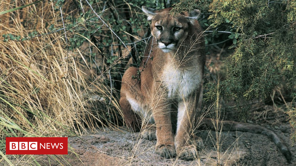 Hiker likely killed in Oregon's first fatal cougar attack - Dotemirates