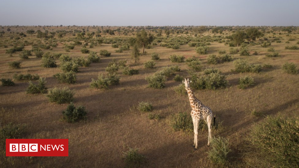 Saving the world's last West African giraffes in Niger - Dotemirates